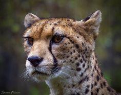 El guepardo del Sáhara existe , pero quedan 250