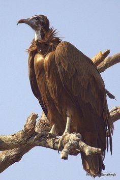 (Necrosyrtes monachus)  Hooded Vulture