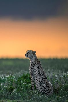 regal cheetah on the lookout
