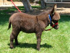 Girls Mules and Donkeys | San Miguel Miniature Donkeys Leo
