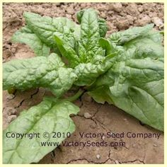 Giant Nobel Spinach - 50 days (Victory)