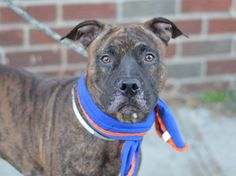 GONE --- TO BE DESTROYED - 11/18/14 Brooklyn Center - P  My name is JAX. My Animal ID # is A1019943. I am a male br brindle and black pit bull mix. The shelter thinks I am about 1 YEAR   I came in the shelter as a OWNER SUR on 11/07/2014 from NY 11208, owner surrender reason stated was PERS PROB.  https://www.facebook.com/photo.php?fbid=905976146081932