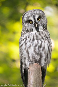 Great Grey Owl II by amrodel