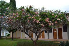 Jasmim - UFLA - Universidade Federal de Lavras