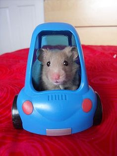 cool little hamster in a tiny blue car Baby Animals, Funny Animals, Cute Animals, Hamster Toys, Hamster Life, Cute Hamsters, Cute Mouse, Smart Car, Cute Animal Pictures