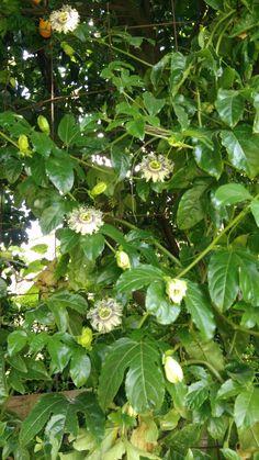 planta de maracujá roxo em floração