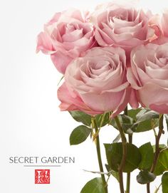 Meet Secret Garden, one of our blush colored rose varieties that has large bloom that opens big and holds for a long time. This fair trade rose variety is very popular during the wedding season.