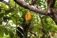8/10(水)バリ島ウブドのお天気は曇り。室内温度27.7℃、湿度69%。野生のカカオの実を発見!この中にはカカオ豆が沢山入っていて、チョコレートやココアの原料になります♪