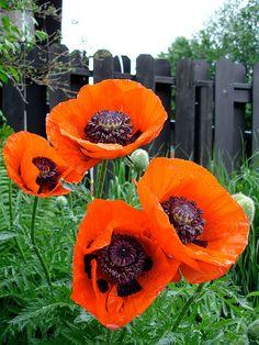 Oriental poppy = flowers I would like to plant:)