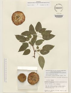 Maclura_pomifera,Resources for Botanical Sketchbooks, , Resources for Art Students at CAPI::: Create Art Portfolio Ideas milliande.com, Art School Portfolio Work, , Botanical, Flowers, Plants, Leaves,Stem Seed, Sketching, Herbarium