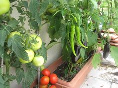 Balcony Herb Gardens, Plant Breeding, Growing Vegetables, Vegetable Garden, Beautiful Gardens, Celery, Farmer, Veggies, Home And Garden