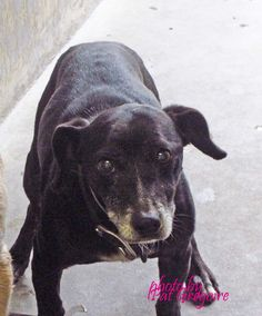 A4789405 I am a 7 yr old male black Chihuahua mix. I came to the shelter as a stray on Jan 5. available 1/9/15 Baldwin Park shelter 4275 Elton Street, Baldwin Park, California 91706 Phone 626 430 2378 https://www.facebook.com/photo.php?fbid=906413346037170&set=a.705235432821630&type=3&theater