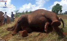 Elefante explorado como entretenimento é morto após tentativa desesperada de fuga