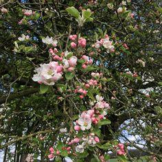 Apfelblüte im Ibbenbürener Land. Draussenzeit genießen 💚