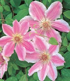 Clematis 'Scartho Gem'.  Bouyant pink blooms with a darker central bar and light toned, slightly waved edges stand out wonderfully in the garden. Harmonizing red-pink anthers are held above a light center. Compact grower suitable for border, specimen, or container. Free-flowering English hybrid grown by Walter Pennell and named for his nursery. Size: 8' tall. Bloom time: Late spring to early summer and late summer.. Plant zones: 4-9.   PRUNE GROUP 2