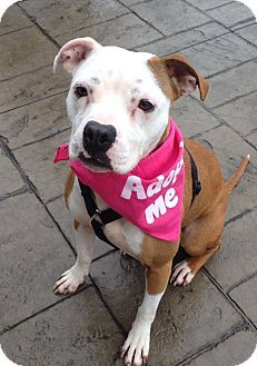 2/25/15 SL *** MIKA,,,Sharon Center, OH - Pit Bull Terrier Mix. Meet Mika, a dog for adoption. http://www.adoptapet.com/pet/11705511-sharon-center-ohio-pit-bull-terrier-mix