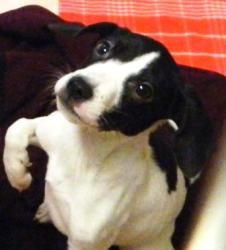 Droopy is an adoptable Beagle Dog in Ann Arbor, MI. Meet Droopy, an adorable pup that is patiently waiting for a forever home! This poor little pup is currently being monitored for ringworm, which is ...