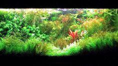 Rode planten vallen prachtig op in een voorral groen aquarium