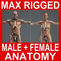 MAX RIGGED Male and Female Anatomy Complete Pack (Textured) Model available on Turbo Squid, the world's leading provider of digital models for visualization, films, television, and games. Human Brain Anatomy, Human Anatomy Model, 3d Anatomy, Anatomy Models, Anatomy And Physiology, Anatomy Drawing, Medical Anatomy, Male Skeleton, Human Body Art