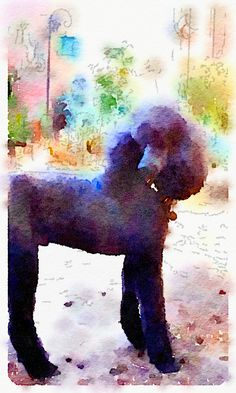 Boomer in watercolor. Love my poodle boy.