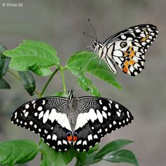 Dorsal and ventral views of a Lime Butterfly(Papilio demoleus malayanus) photographed by Khew SK in Singapore