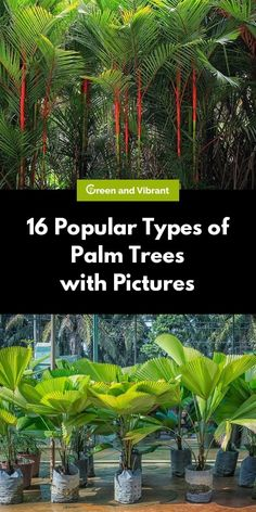 With over species of palm in existence, choosing the right palm for you might seem challenging. We've narrowed down the most popular types of palms into manageable categories to help you discover the best type of palm for your home or garden.