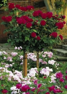 Tree Roses Are Basically Rose Bushes On A Hardy Stem They Add Elegance To Walkways