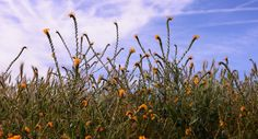 Breckinridge Field of Flowers by Wayne Wong on Capture Kern County // Fiddlenecks at a stop along the road.