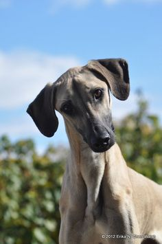 Sloughi - Medium-sized, smooth-coated, athletic sighthound. An ancient breed, it is treasured in North Africa for its hunting skills, speed, agility, and endurance over long distances. http://www.akc.org/breeds/sloughi/index.cfm