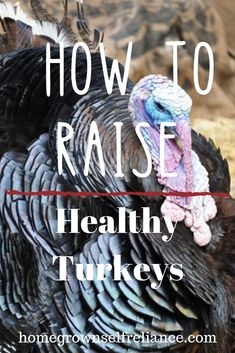 Would you like to raise turkeys in your backyard? Turkeys are one of the easiest animals I have found to raise on my homestead. If you want to learn how to raise turkeys, start here! Raising Farm Animals, Raising Ducks, Raising Chickens, Easy Animals, Cute Baby Animals, Baby Turkey, Tom Turkey, Female Turkey, Turkey Breeds