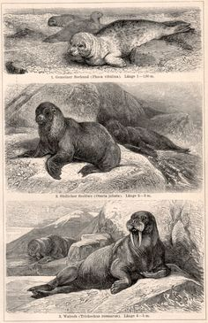 Sea Mammals Antique Print Vintage Lithograph Seals от Craftissimo