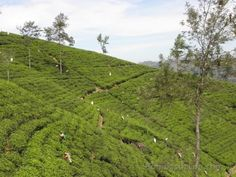Tea plantation in Sri Lanka... Fantastic Bombastic!