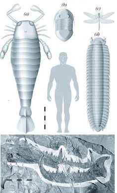 The images show the reconstructed fossil claw of the ancient sea scorpion Jaekelopterus rhenaniae (e) and its size relative to a human male and to the sea scorpion (a), the trilobite Isotelus rex (b), the dragonfly Meganeura monyi (c), and the millipede Arthropleura armata (d). I will sum up my impression with two words: Wow! Eeeeep!