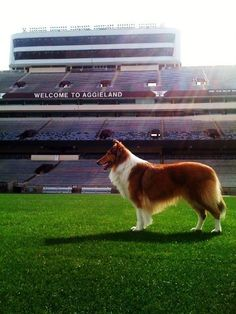 Reveille looking majestic on Kyle Field! Know it's not really football, but it IS. Aggie Football, Football Stadiums, A&m College Station, Kyle Field, Rough Collie, Texas A&m, Texans, Atlanta Braves, Animal Pictures