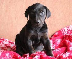 Spike   Doberman Pinscher Mix, Lab Mix Puppy For Sale   Keystone Puppies Doberman Puppy Red, Red Doberman Pinscher, Lab Mix Puppies, Puppies For Sale, Handmade Dog Collars, Dog Gifts, Beagle, Your Dog, Labrador Retriever