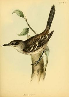 pt. 3 (Birds) - The zoology of the voyage of H.M.S. Beagle ... -Charles Darwin -  Biodiversity Heritage Library