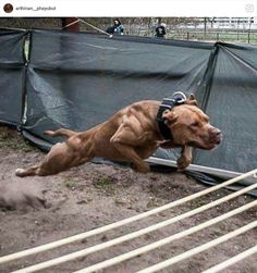 Just like the form of the dogs we had beautiful and agile Huge Dogs, I Love Dogs, Best Dog Breeds, Best Dogs, Scary Dogs, American Pitbull, Bully Dog, Real Dog, Dog Games