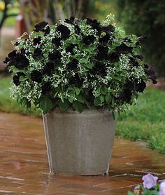 Black Cat Petunia Seeds and Plants, Annual Flower Seeds at Burpee.com