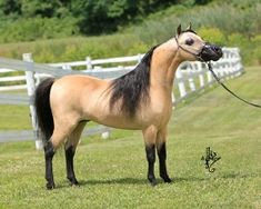 Miniature Horses | Tannish to yellow body color with black mane and tail and lower legs.