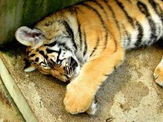 baby tigre.