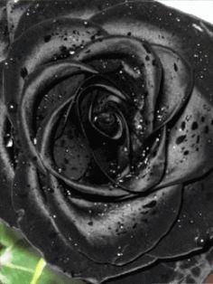 Черная роза - анимация на телефон №1071364
