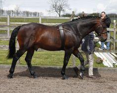 Cleveland Bay - stallion Lindon Principal
