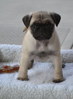 Our new pug puppy 'Boo'