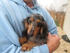 Dottie il is an adoptable Dachshund Dog in Highland, IL. Dottie is a 3 yr old 7.5 lb silver dapple long hair dachshund that is so sweet and freindly - she does not know a stranger.   She loves her peo...