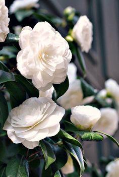 camellias in paris