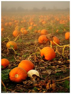 I LOVE PUMPKINS!!!!!!!! I want to live in a log cabin and have a pumpkin patch in my yard!!!!!!!
