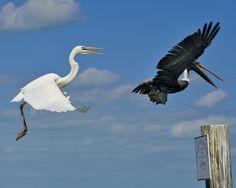 Great Egret & Brown Pelican