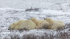 A polar bear mother and her two young cubs take a nap in Western Hudson Bay in Canada Polar Bears Live, Animals Are Beautiful People, Spectacled Bear, Baby Animals, Cute Animals, Artic Animals, Save The Arctic, Sloth Bear, Bear Cubs