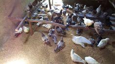 kỹ thuật tận dụng nhà cũ nuôi bồ câu pháp - bồ câu hà tĩnh - 0977006968