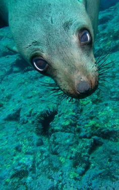 Seal - close up by Waterdragon62. Australian fur seal (Arctocephalus pusillus doriferus)